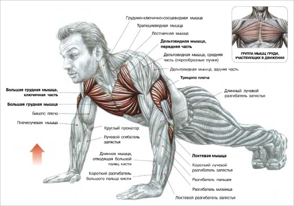 набор мышечной массы - что задействовано