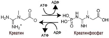 механизм действия creatine
