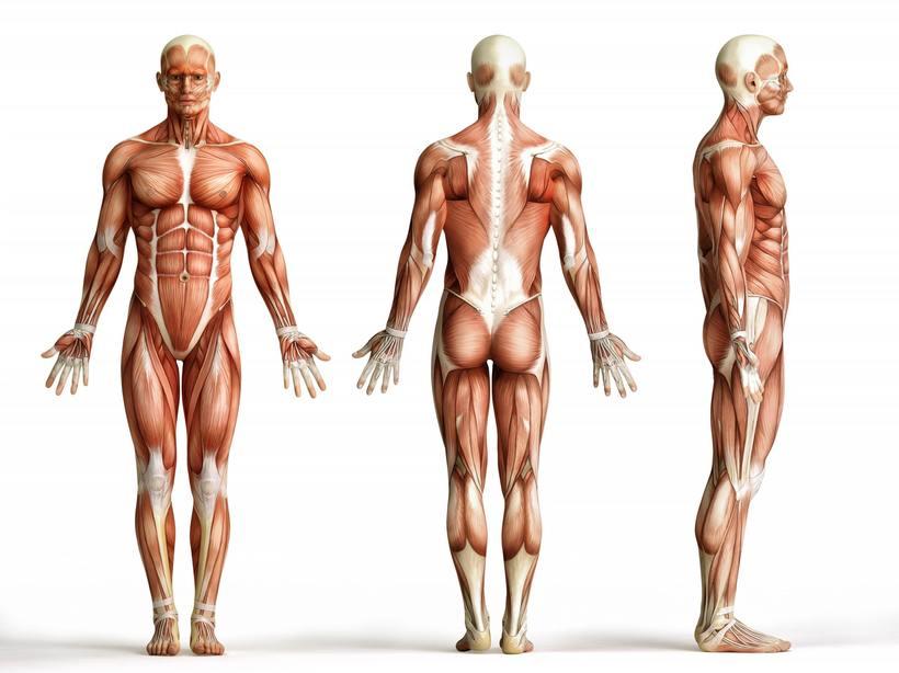 рост мускулатуры