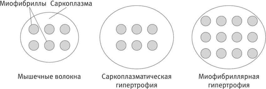 рост за счет саркоплазматической гипертрофии