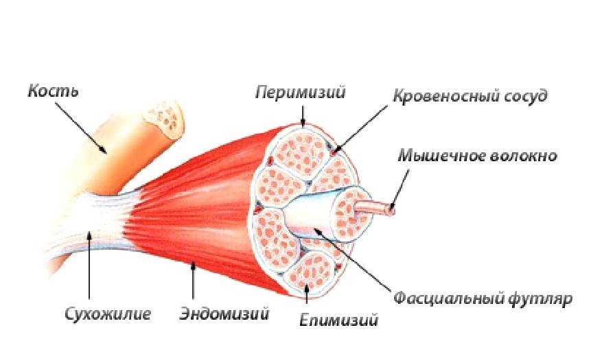 рост массы - строение фибрилл