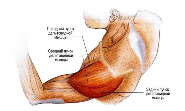 плечевые мышечные группы