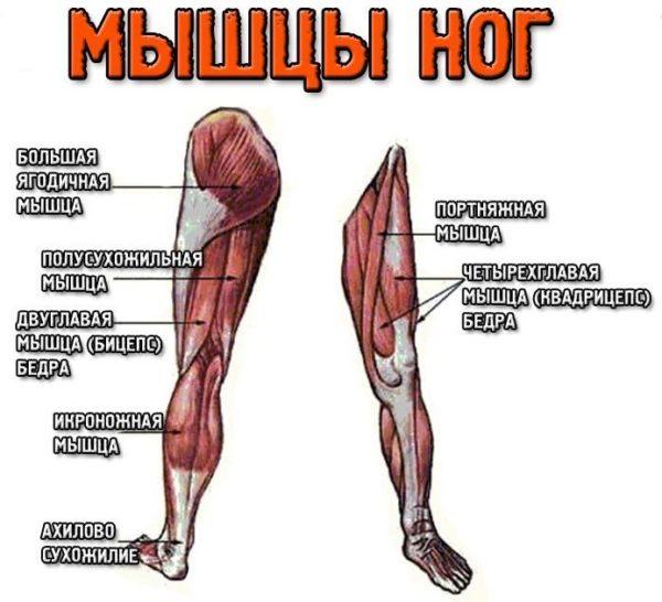 анатомия коленных суставов