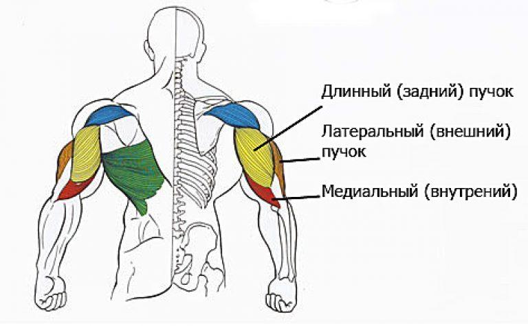 накачать - анатомия мышечных пучков