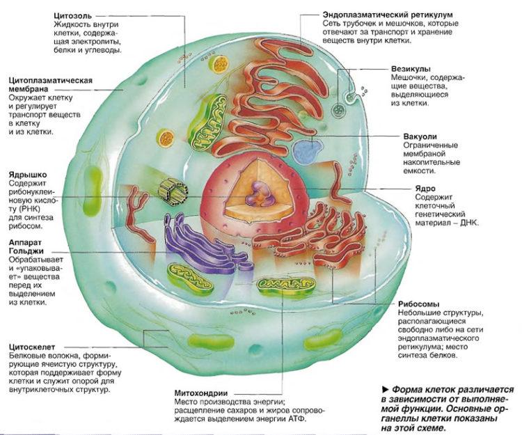цитозоль - структура клетки