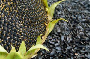 дешевые источники - семена подсолнечника