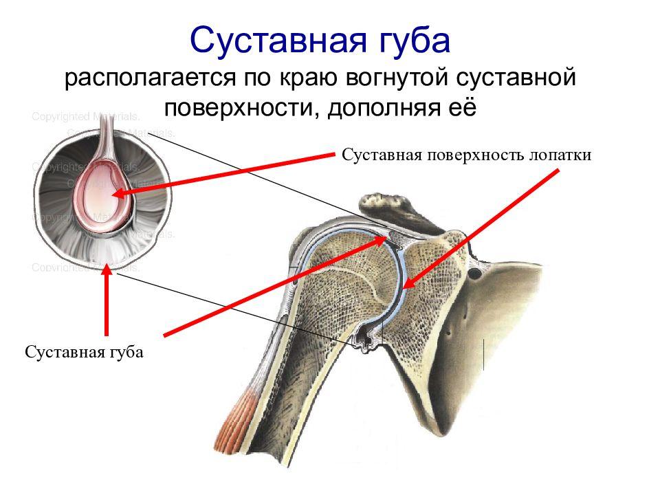 вращательная (ротаторная) манжета плеча - гленоид