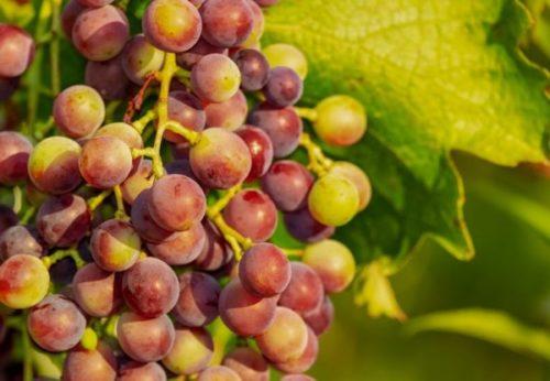 виноград - польза для человека