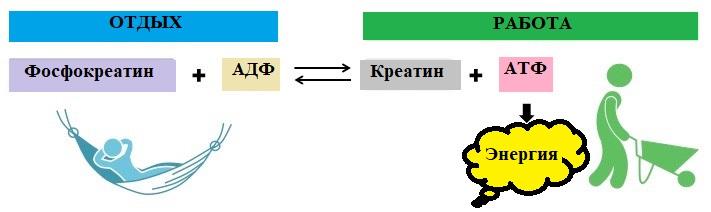 фосфокреатиновая система