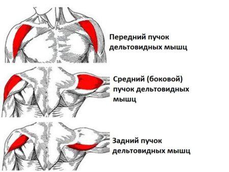 анатомия основных мышечных волокон