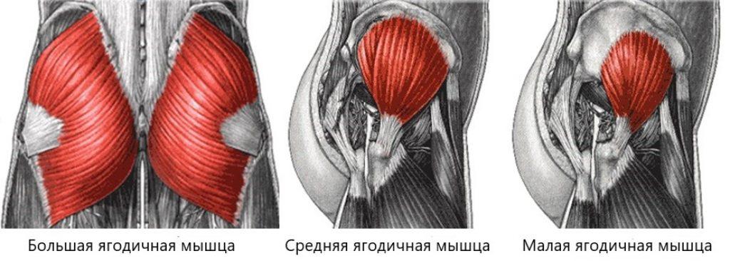 упражнения для тренировки ягодиц - анатомия