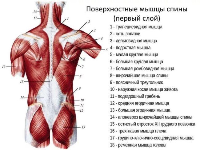тренировка спины - анатомия