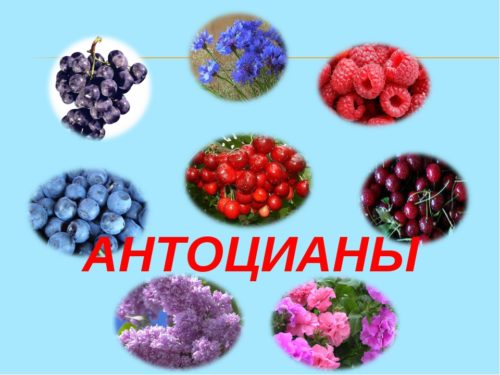 антоцианы в ягодах и фруктах