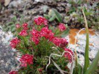 Родиола розовая (золотой корень) – натуральный кровяной допинг